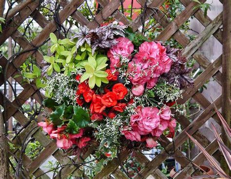 tanaman hias gantung tahan panas begonia bunga garden