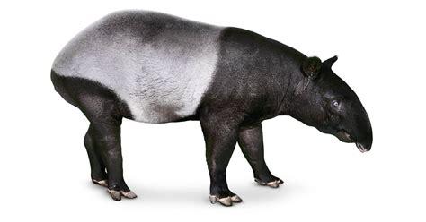 odd toed hoofed mammals animals dk hooves
