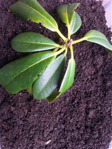 vermehrung kirschlorbeer kirschlorbeer vermehren