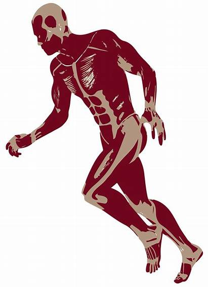 Running 3d Anatomy Muscles Sports Medicine Appointment