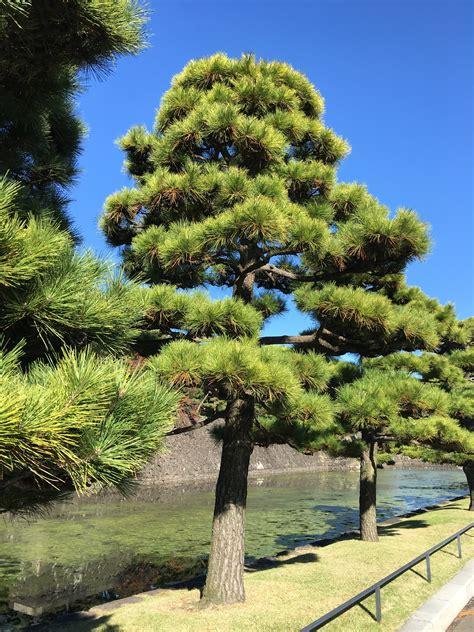 Kiefern Im Garten by Kostenlose Foto Landschaft Baum Ast Kiefer Immergr 252 N