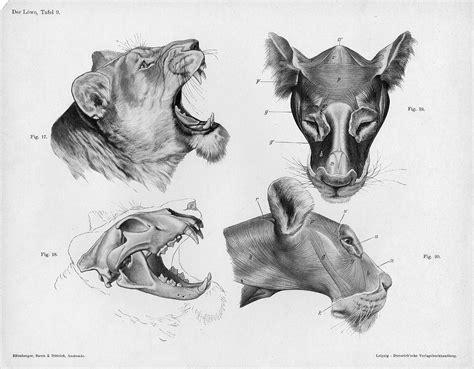 Lion Anatomy Head.jpg