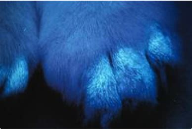 woods l examination in dogs dermatophytosis ringworm