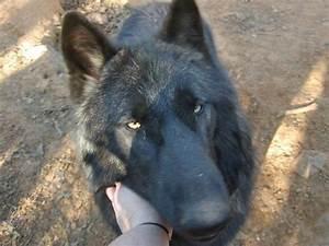 the wolf hybrid