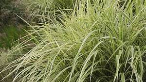 Miscanthus Sinensis Variegatus : chinese silver grass miscanthus sinensis 39 variegata 39 syn miscanthus sinensis 39 variegatus ~ Eleganceandgraceweddings.com Haus und Dekorationen