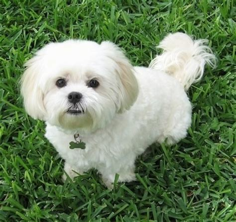 lhasa apso shih tzu mix shedding lhatese breed information and pictures