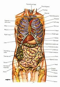 Anatomy Of The Internal Organs - Human Anatomy Diagram