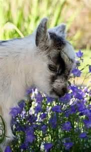Cute Baby Pygmy Goat
