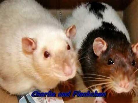 was fressen ratten am liebsten s 252 223 e niedliche ratten was sie am liebsten m 246