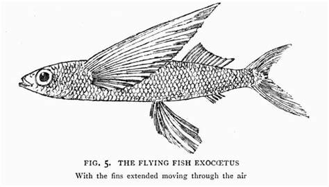 Flying Fish Coloring Page Democraciaejustica