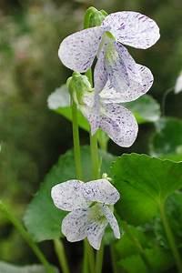 Welche Blumen Blühen Im Mai : welche fr hlingsblumen bl hen wann fr hlingsblumen sch ner und veilchen ~ Eleganceandgraceweddings.com Haus und Dekorationen