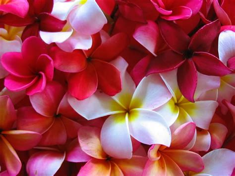 lovely plumeria wallpaper red yellow  white blossoms