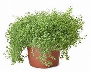 Lavendel Im Topf überwintern : bubikopf pflanze pflege und vermehrung von bubik pfchen ~ Frokenaadalensverden.com Haus und Dekorationen