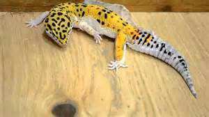 leopard gecko shedding process youtube