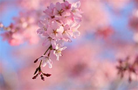 arriere plan bureau drooping cherry blossoms 5k retina ultra hd wallpaper and