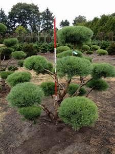 pinus sylvestris norske typ bonsai von hammel With whirlpool garten mit bonsai magnolie kaufen