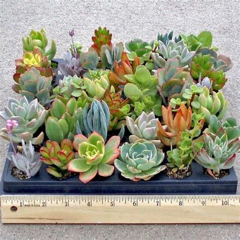 order succulents 1000 ideas about where to buy succulents on pinterest plants for sale buy succulents and