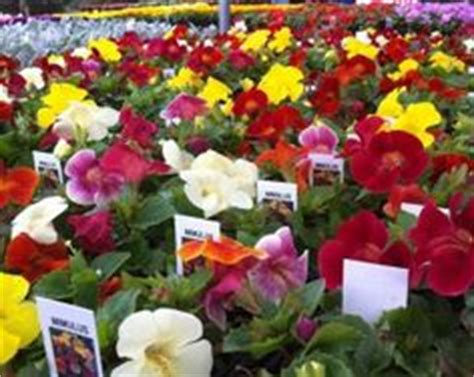how far apart to plant petunias 1000 images about annual flowers on pinterest annual flowers petunias and flower beds