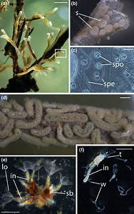 1 Bryozoan Hosts And Malacosporean Parasites  A A Branching Colony Of