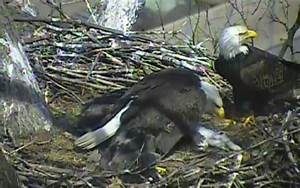 Bald eagles caught eating a cat on livestream by sickened ...