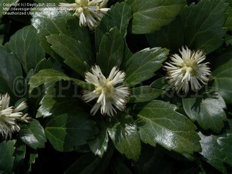 plantfiles pictures japanese spurge pachysandra