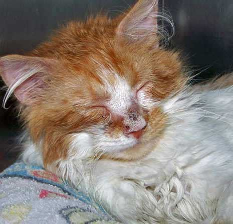 ringworm treatment for cats cat ringworm about cats