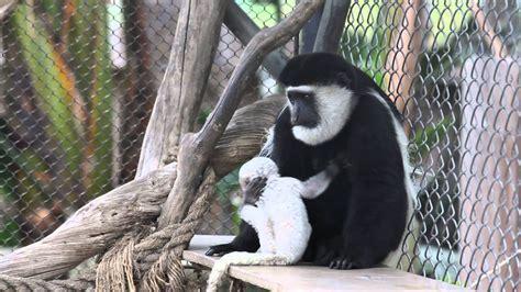 zoo ana santa monkey colobus baby