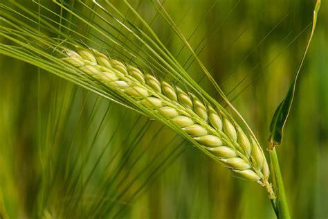 barley allergy  horses symptoms  diagnosis
