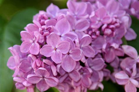 fiori lillà lilla il fiore rilassa la mente e il corpo la