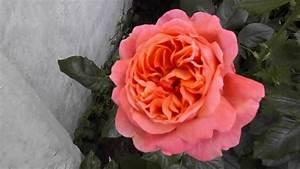 Rose Summer Song Austango David Austin Roses