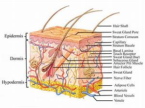 Education And Health  The Integumentary System