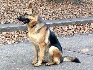 German Shepherd Dog Hd Wallpaper - Hot Girls Wallpaper