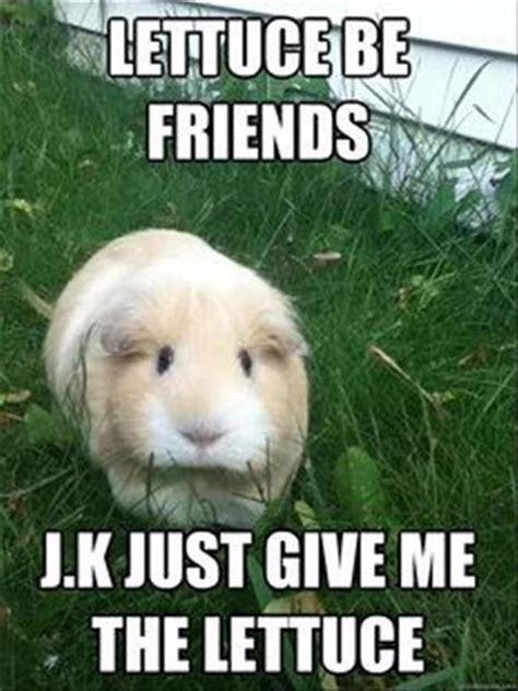 Guinea Pig Meme - funny animals pictures of the day 26 pics