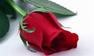 Rosa, planta medicinal para la piel Hogarmania
