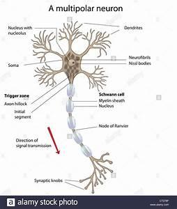 Motor Neuron  Labeled Stock Photo