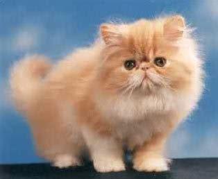 gatti persiani foto gatto persiano