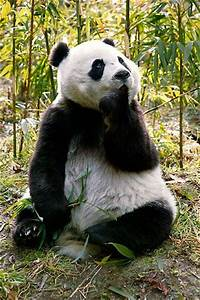 17 best ideas about Pandas on Pinterest | Baby pandas ...