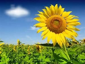 Warum Drehen Sich Sonnenblumen