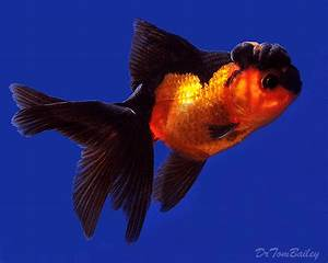 Oranda Goldfish for Sale - AquariumFish.net