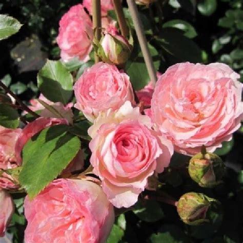 Rosa Mini Eden Rose R Kl Vi Kletterrose Mini Eden