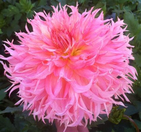 dahlia tubers for sale lookup beforebuying