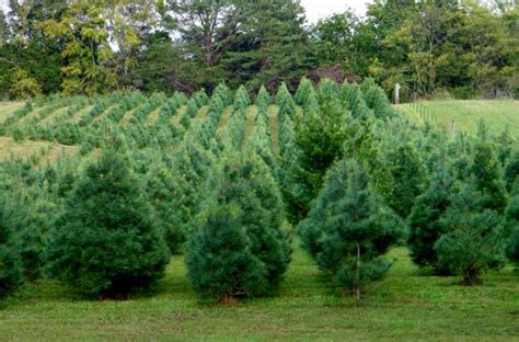 Unlit Artificial Christmas Trees Target by Collection Of White Pine Christmas Tree Best Christmas