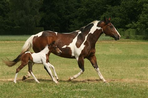 horse paint american farm breeds association foal tobiano history overo painted painthorse apha quarter