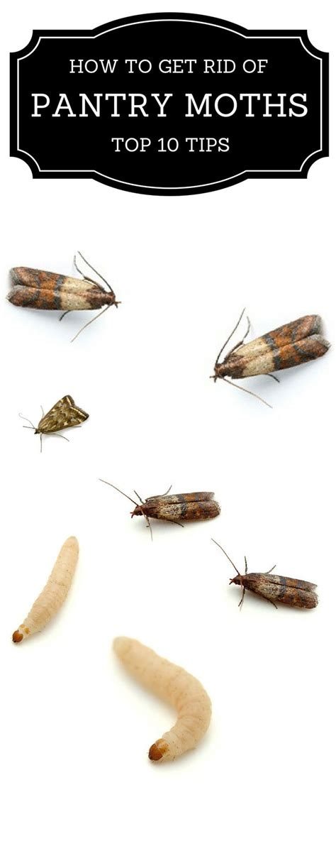 Getting Rid Of Pantry Moths Naturally Best 25 Pantry Moths Ideas On Getting Rid Of