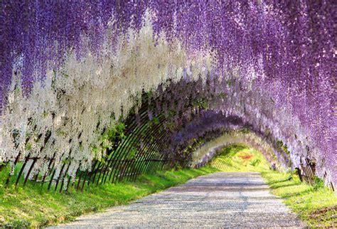 Garden Arch Tunnel by The Great Wisteria Flower Arch Kawachi Fuji Garden