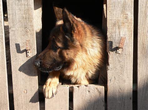 crate training german shepherd dogpuppy  simple