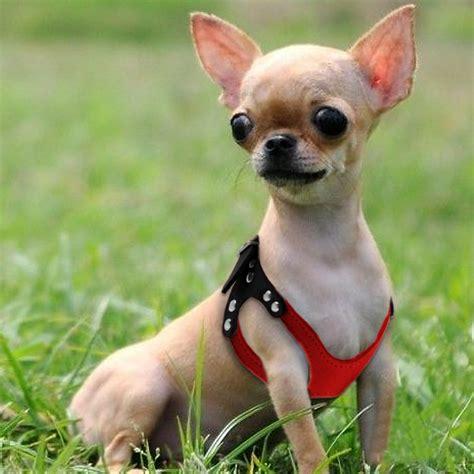 Chihuahua Welpen Geschirr