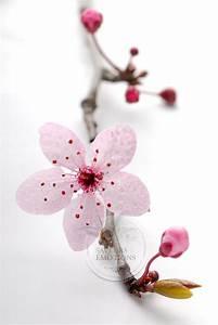 Fleur De Cerisier Signification : photos cerisiers japonais fleurs du japon et des fleurs ~ Melissatoandfro.com Idées de Décoration