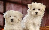 White Fluffy Puppy