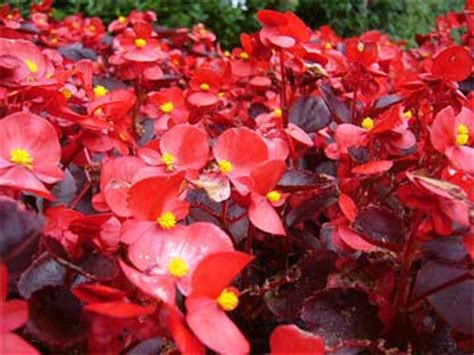 are begonias annuals planting annuals begonias with video